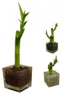 Planta Bamboo