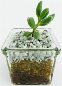 Cactus en macetero vidrio
